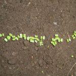 小松菜を植えました