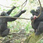 チンパンジーと人間の脳の働きはかなり違う